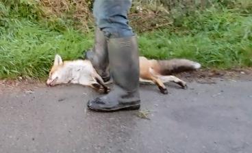 DS Crush fox