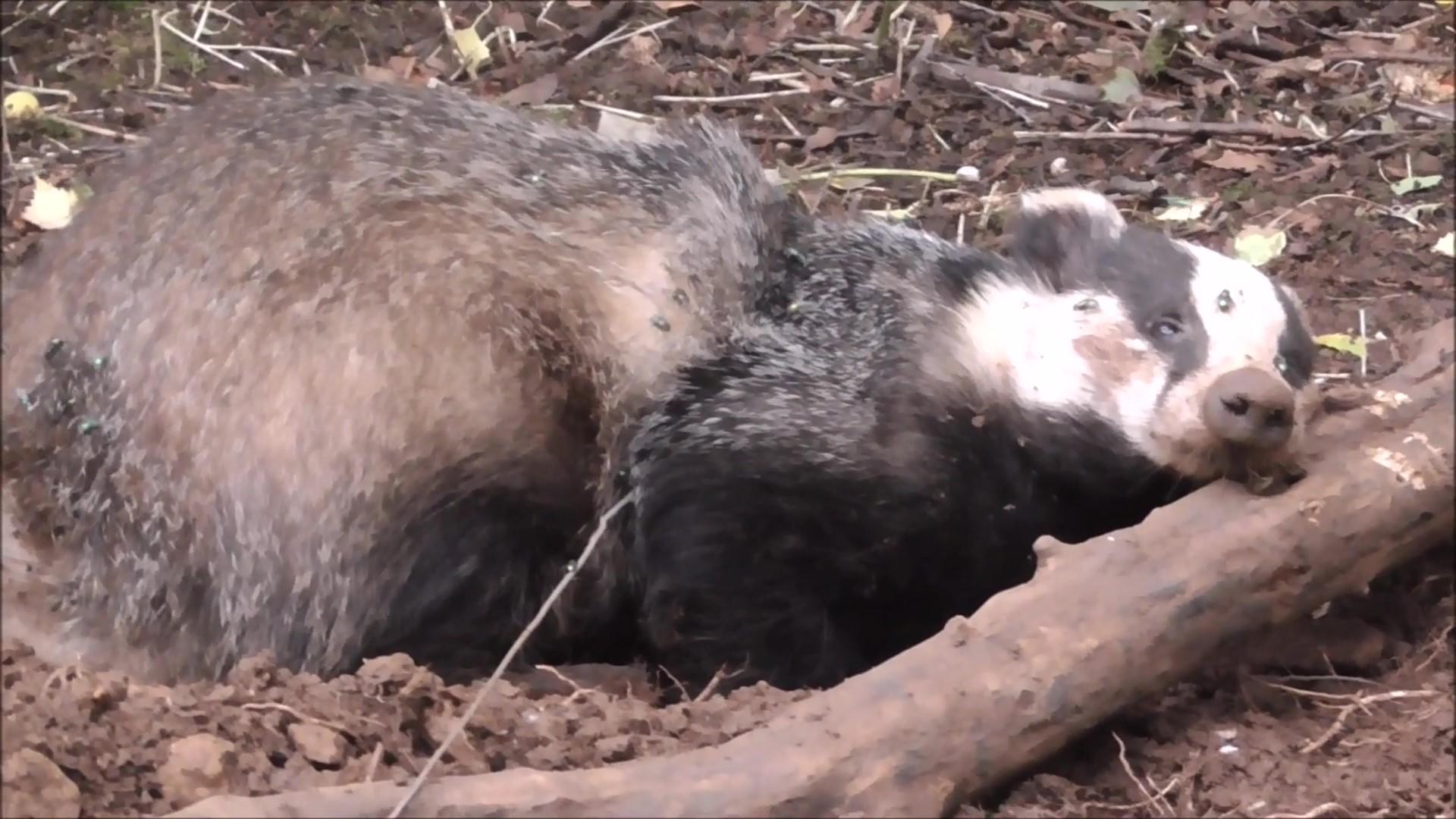 HSA Badger Snare Still